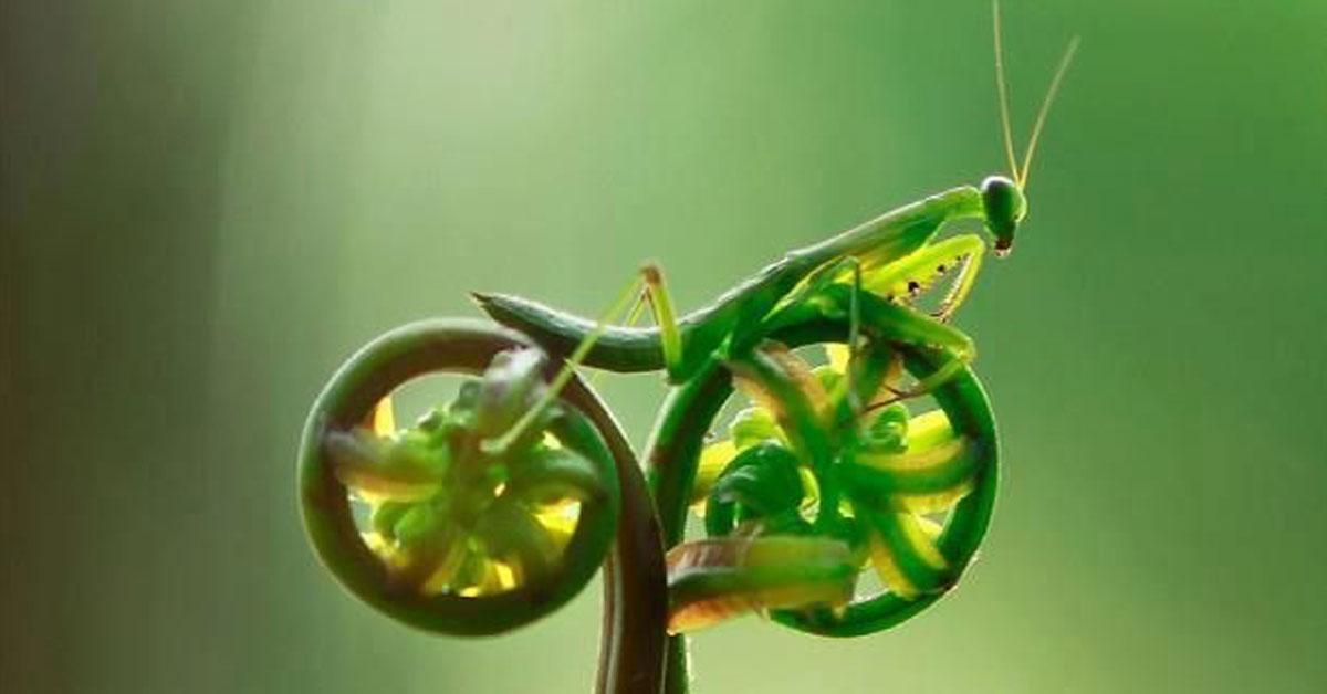 Fiddlehead Grasshopper on Bike